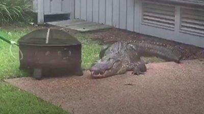 Alligator in backyard