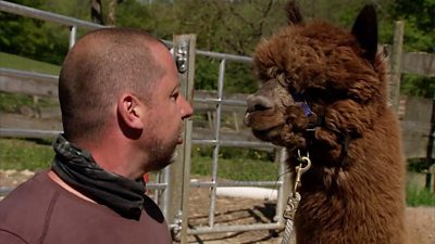 Coronavirus therapy: alpacas go online to save a business during lockdown