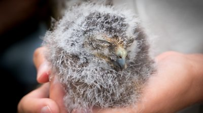 Owl chick sitting in person's hands