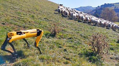 Robot dog with sheep