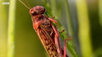 A locust on crops
