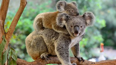 A koala and their baby