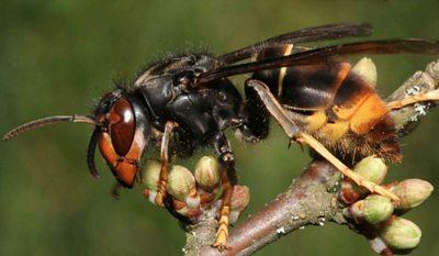 Asian hornet: UK beekeepers on lookout for bee-eating predator