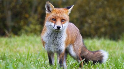 Researchers say urban foxes are becoming more similar to domesticated dogs.