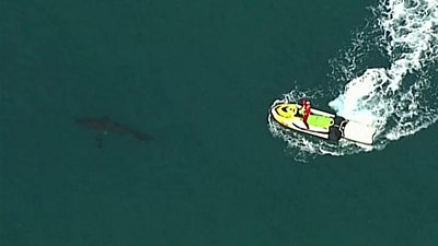 Great white shark off New South Wales