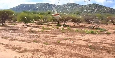Locust swarms in Kenya