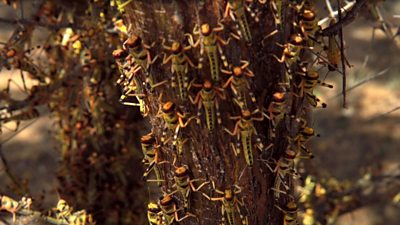 Dozens of locusts climbing a tree.
