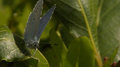 The holly blue butterfly filmed in Deal