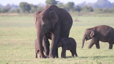 Baby elephants with mother
