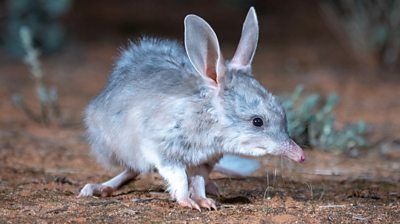 Close up of bilby