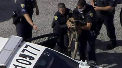 Kangaroo being carried to a police car