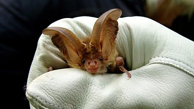 A brown long-eared bat