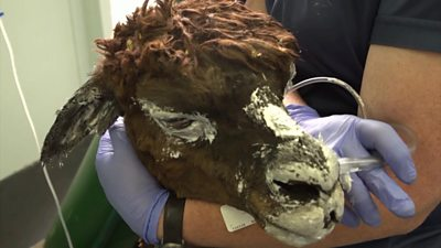 Alpaca treated for burns