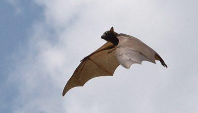 Flying fox in flight