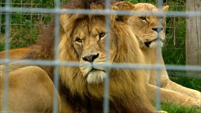 Lions in a cage