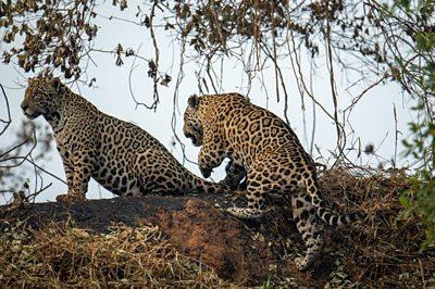 Jaguars in Brazil's Pantanal
