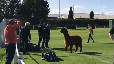 Alpaca on pitch