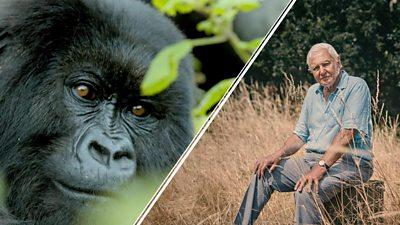 Mountain gorilla and Sir David Attenborough