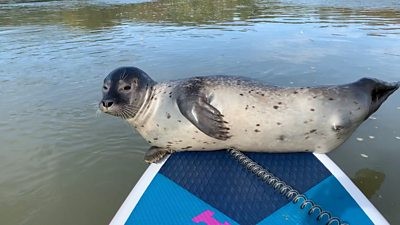 Seal rests on paddleboard