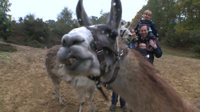 Family takes stress out of impending lockdown by going llama trekking