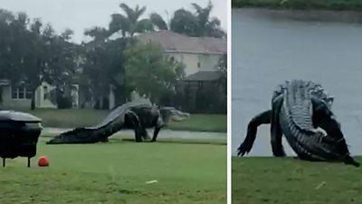 Alligator on Florida golf course