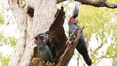 Two palm cockatoos sitting in a tree hollow