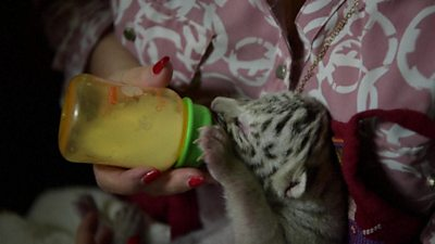White Bengal tiger cub being bottle fed