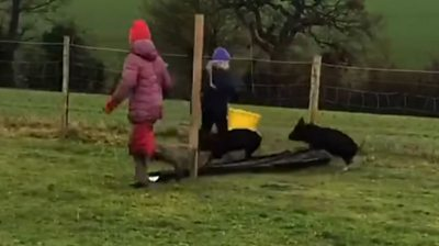 Pigs jumping
