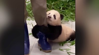 Six-month-old Fu Bao, who lives in South Korea, just won't let go of her zookeeper's leg.