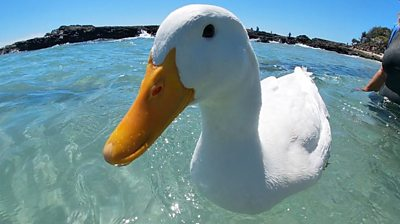 Duck in the water at Rainbow Bay in Australia