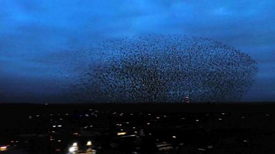 Starlings murmuration