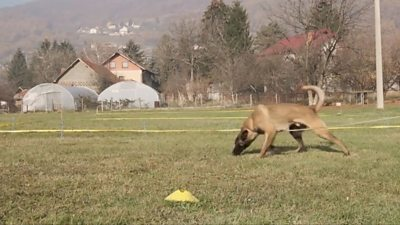 A dog hunting for mines in Bosnia