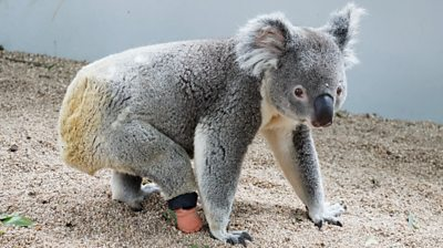 Koala walking with prosthetic foot