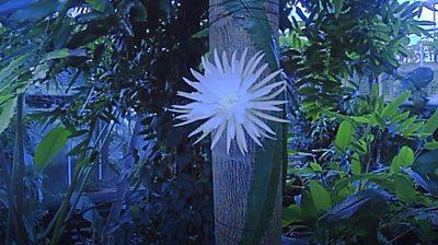 Moonflower in bloom