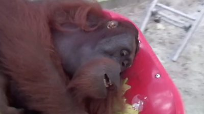 An Indonesian rehabilitation centre in Borneo has released 10 orangutans into the wild.