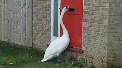 Swan knocking on door