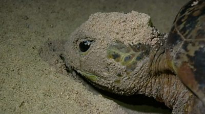 Green turtle in the sand