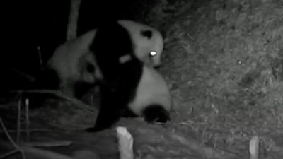 Some rare footage of two wild pandas having a fierce fight has been captured by researchers in China.