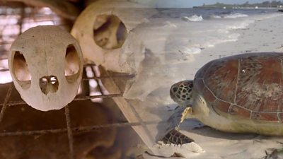 A composite image of a turtleskull and a turtle