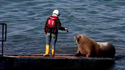 An RNLI volunteer trying to move Wally the walrus