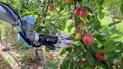 A robotic arm harvesting apples in Australia