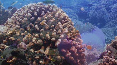 Restored coral reef