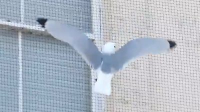 The RSPB calls for netting on buildings to be taken down because it stops kittiwakes from nesting.
