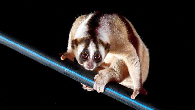 Javan slow loris on pipe
