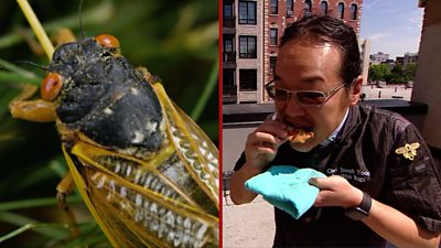 Billions of cicadas have emerged in the US and Brooklyn cook Joseph Yoon is making good use of them.