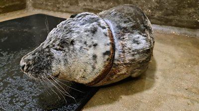 Gnocchi the seal
