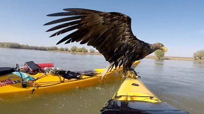 White-tailed eagle on a kayak