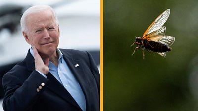 Joe Biden and cicada