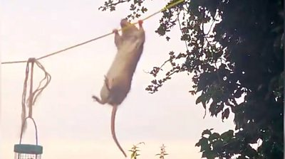 Rat climbing on a washing line