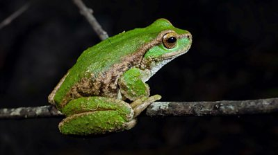 The spotted tree frog (Litoria spenceri)
